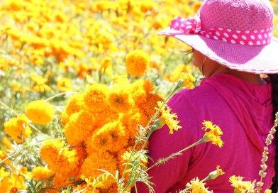 Ven a tomarte fotos en los campos de Cempasúchil de Cholula