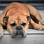 enfermedades de la piel en el perro