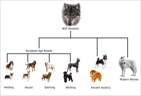 Resultado de imagen de evolucion del lobo