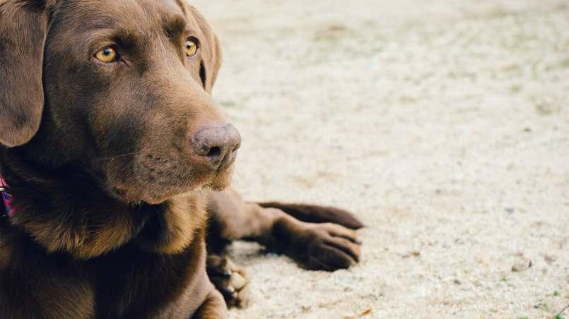 glándula anales en perros