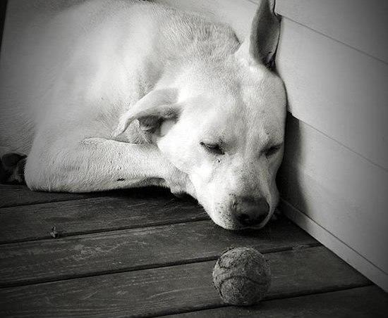 coccidiosis canina