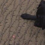 perro no debe jugar con laser