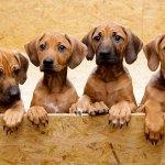cómo hacer un paritorio para perra