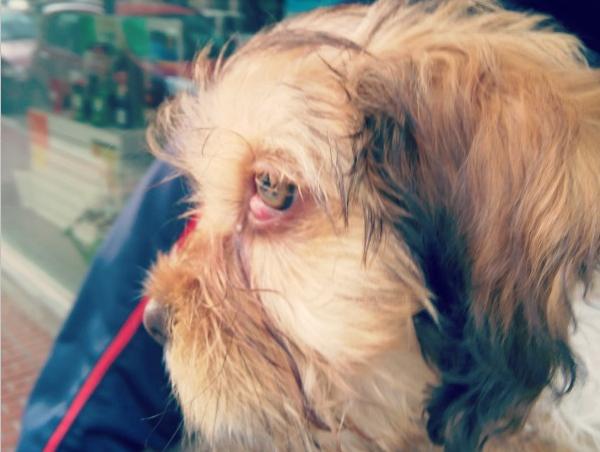 ojo de cereza en perros