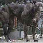 perros genéticamente modificados