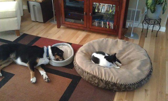 perros grandes en camas pequeñas