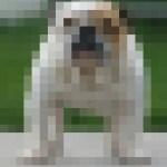 raza de perro en peligro de extinción