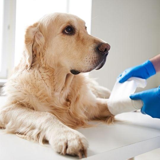 curar una herida a un perro