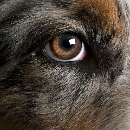 síndrome de ojo seco en perros