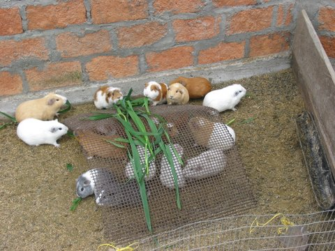 Guinea Pigs Growing to Be the Main Course