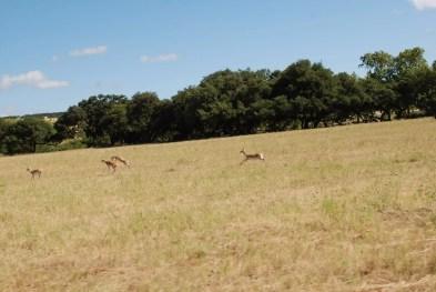 Blackbucks at Enchanted Springs Ranch