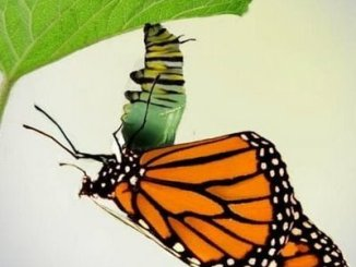 Cómo se convierte en mariposa una oruga