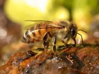 ¿Por qué fabrican miel las abejas?