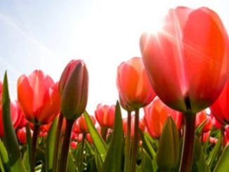 Poemas sobre tulipanes