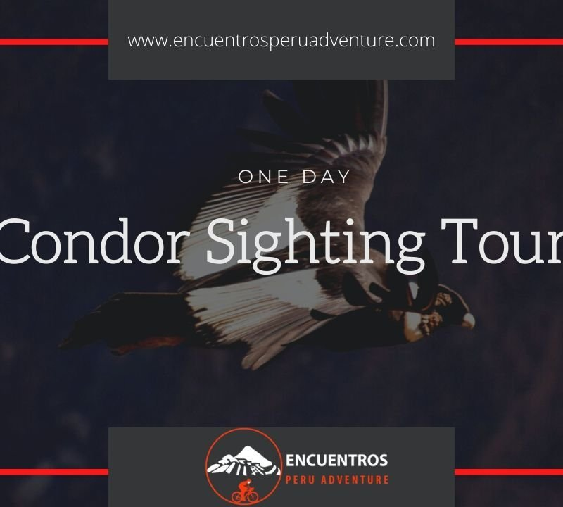 Condor Sighting in Chonta Cusco