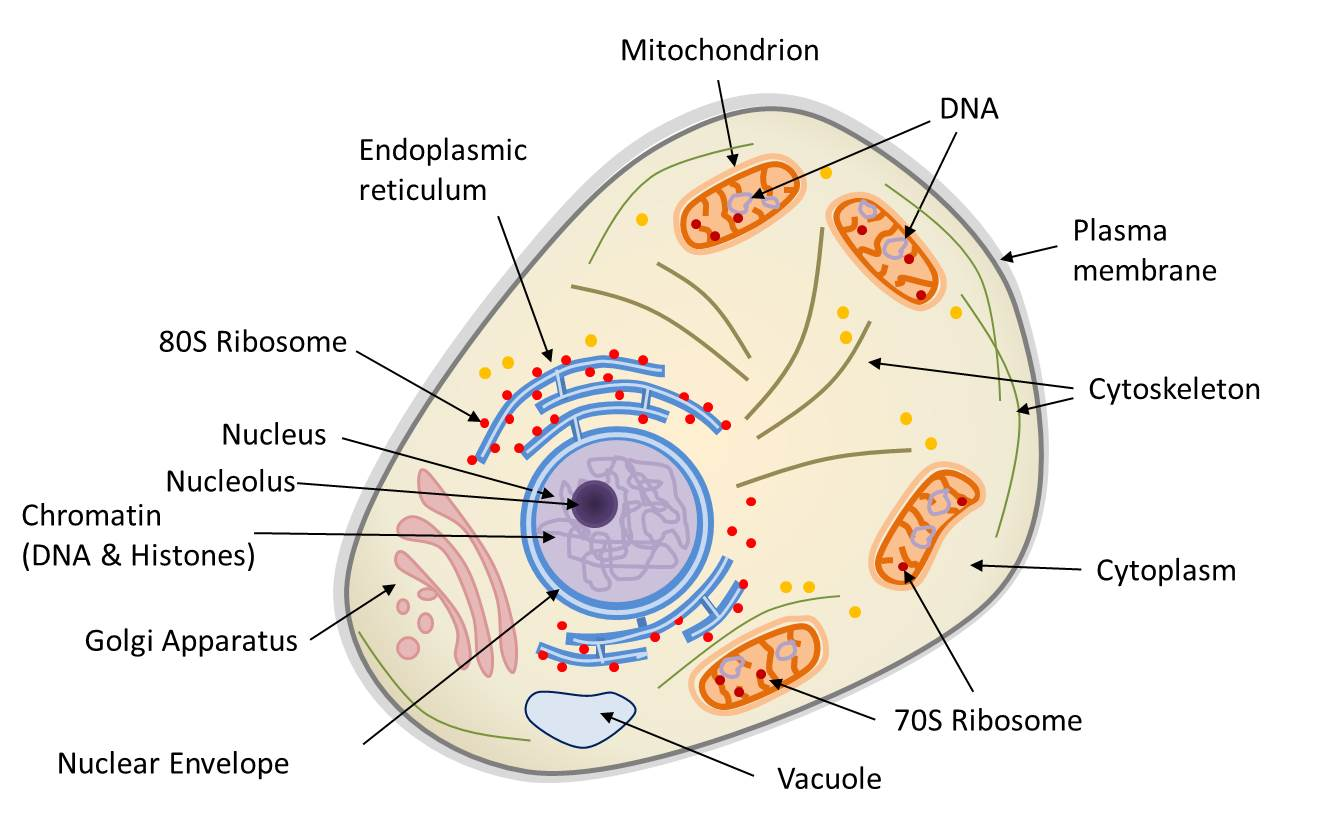 Symbiosis And Evolution At The Origin Of The Eukaryotic