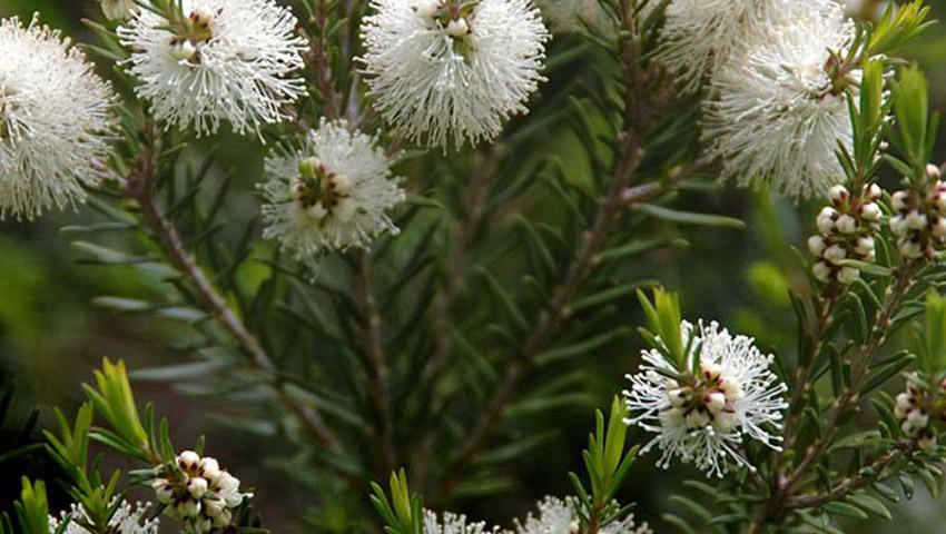 Huile essentielle de Tea Tree (Arbre à Thé)