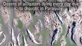 Morte Alligators Paraguay