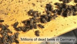 Dead Bees in Germany