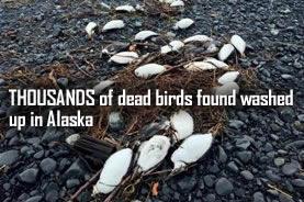 Les oiseaux morts en alaska