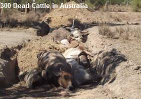 Dead Cattle Australia