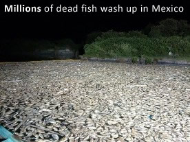 Dead fish in Mexico