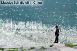 Dead fish in China
