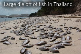 Dead fish in Thailand