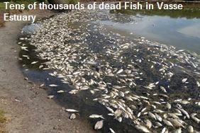 Dead Fish in Vasse Estuary