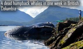 Dead Humpback Whales Canada