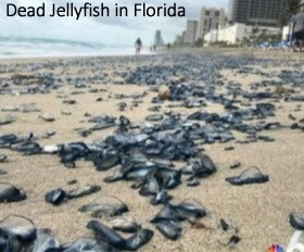 Dead jellyfish in Florida