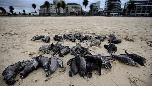 Dead Mutton Birds