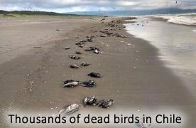 oiseaux morts au Chili
