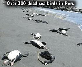 oiseaux morts au Pérou