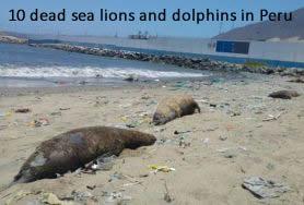 Morte lions de mer et les dauphins au Pérou