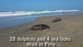 dauphins-sealions morts dans pérou