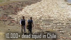 Dead squid in chile