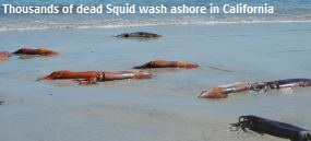 Dead Squid California