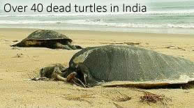 Dead turtles in Odisha