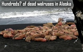 Dead Walruses in Alaska