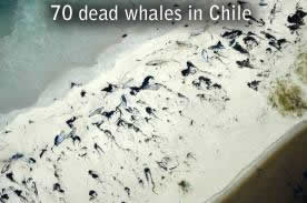 70 baleines mortes au Chili