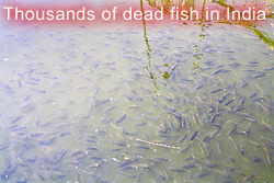 Fish kill in India