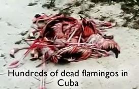 Dead Flamingos in Cuba