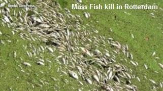 Mass Fish Kill Rotterdam