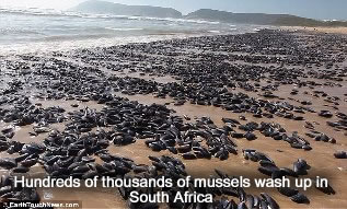 Mussels wash ashore in South Africa