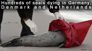 Dead Seals in Germany