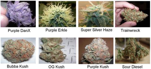 Medical+Marijuana+Sample+Photos+1.3