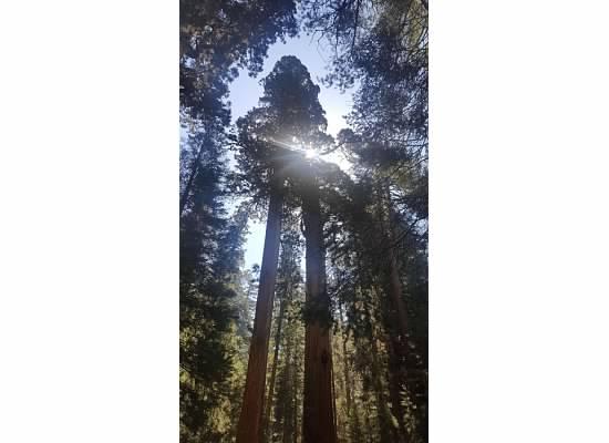 sequoia sun