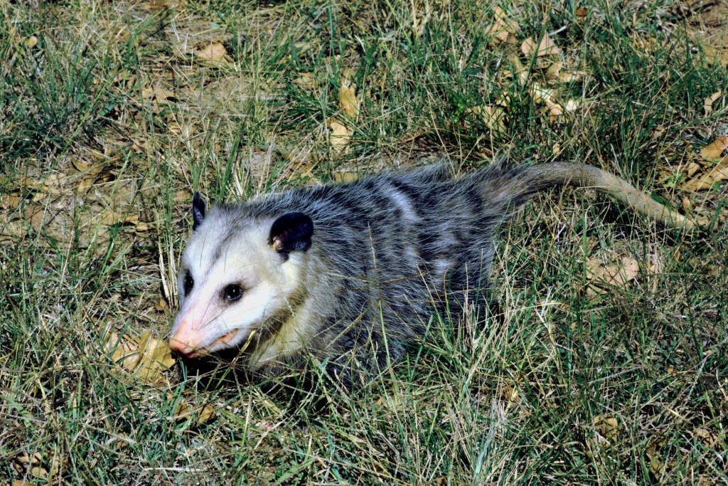 An Opossum makes its way through the tall grass.