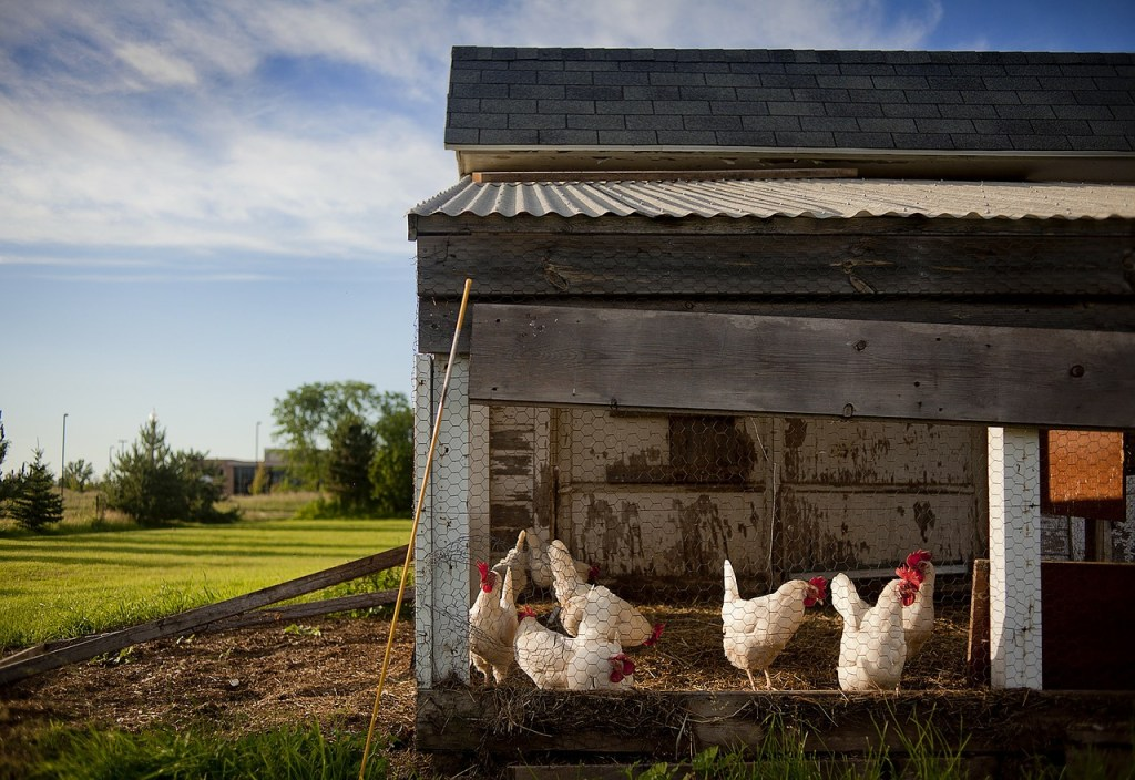 Chicken coop with several white chickens.